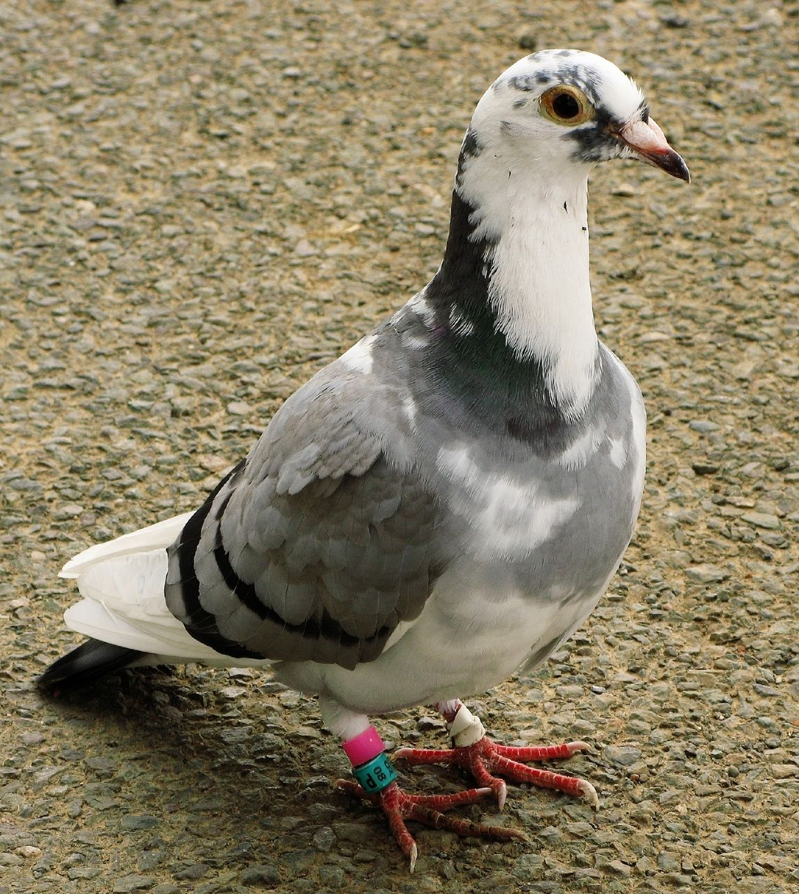 60 Top Pigeon Pictures Photos & Images - Getty Images