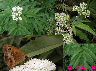 Saúco menor o yezgo que es una especie herbácia