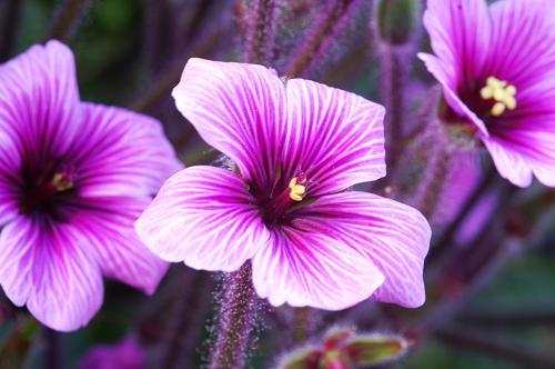 Botanical online plantas silvestres comestibles for Azucena plantas jardin
