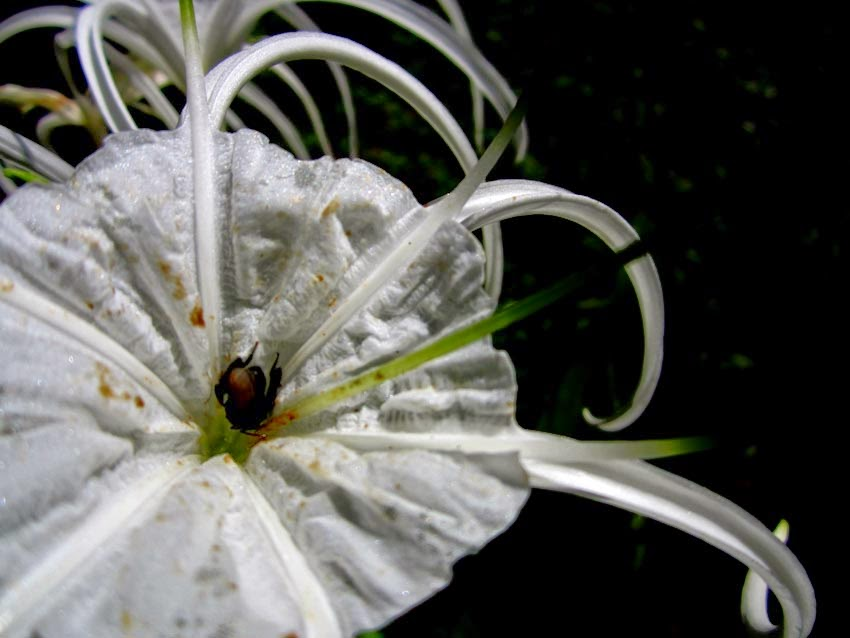 closeup of spider lily