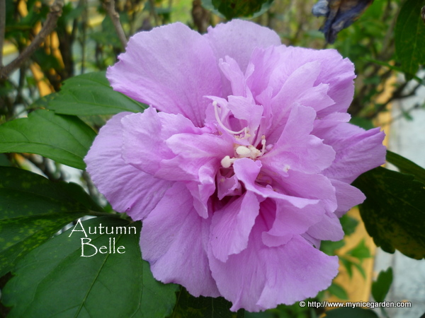 Purple Hibiscus Backyard Snob : Purple Hibiscus Tree My nice garden hibiscus syriacus  purple rose