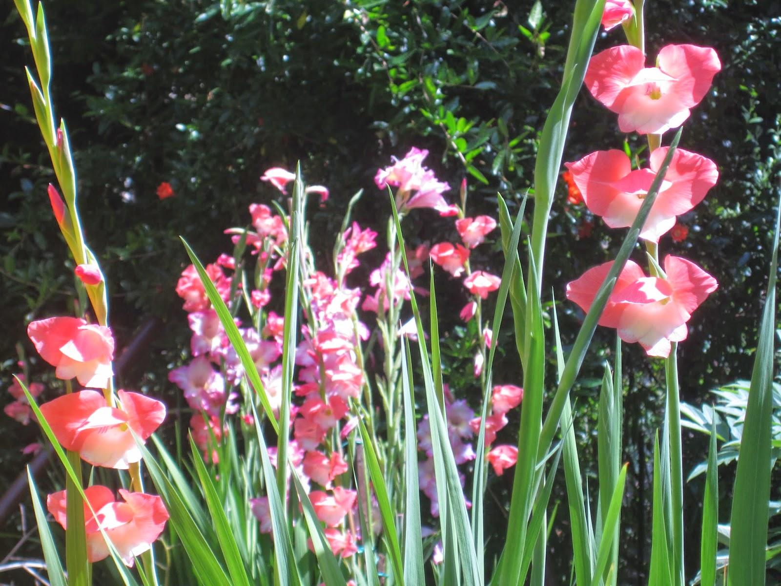 Glayöl gladiolus bahçemin zarif çiçeği