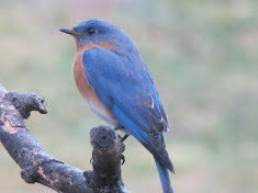 Bluebird perched on branch