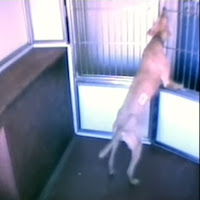 intelligent dogs, videos, animais, animals,