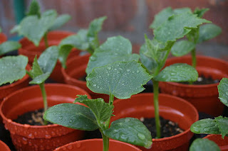 Young cucumber plants in pots