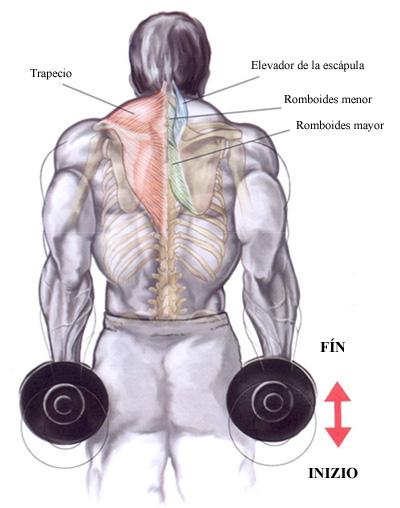 GYM: Encogimiento de hombros con mancuernas