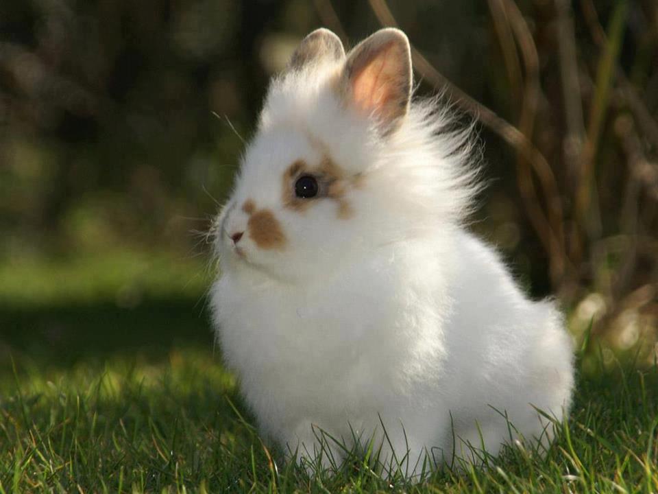 Lionhead rabbit ♥