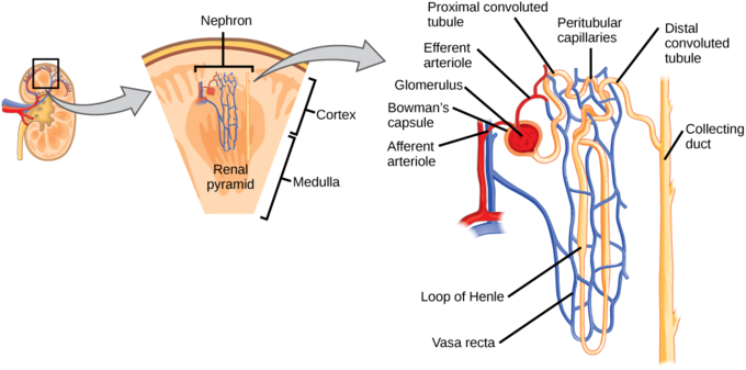 Nephrons perform the main function of the kidney
