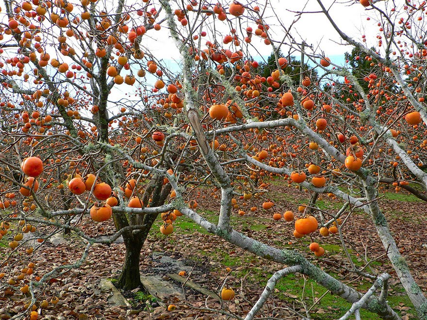 Do You Know What Your Favorite Foods Look Like While Growing - The persimmon (which is actually a berry in terms of botanical morphology), beautifully hangs from the tree.