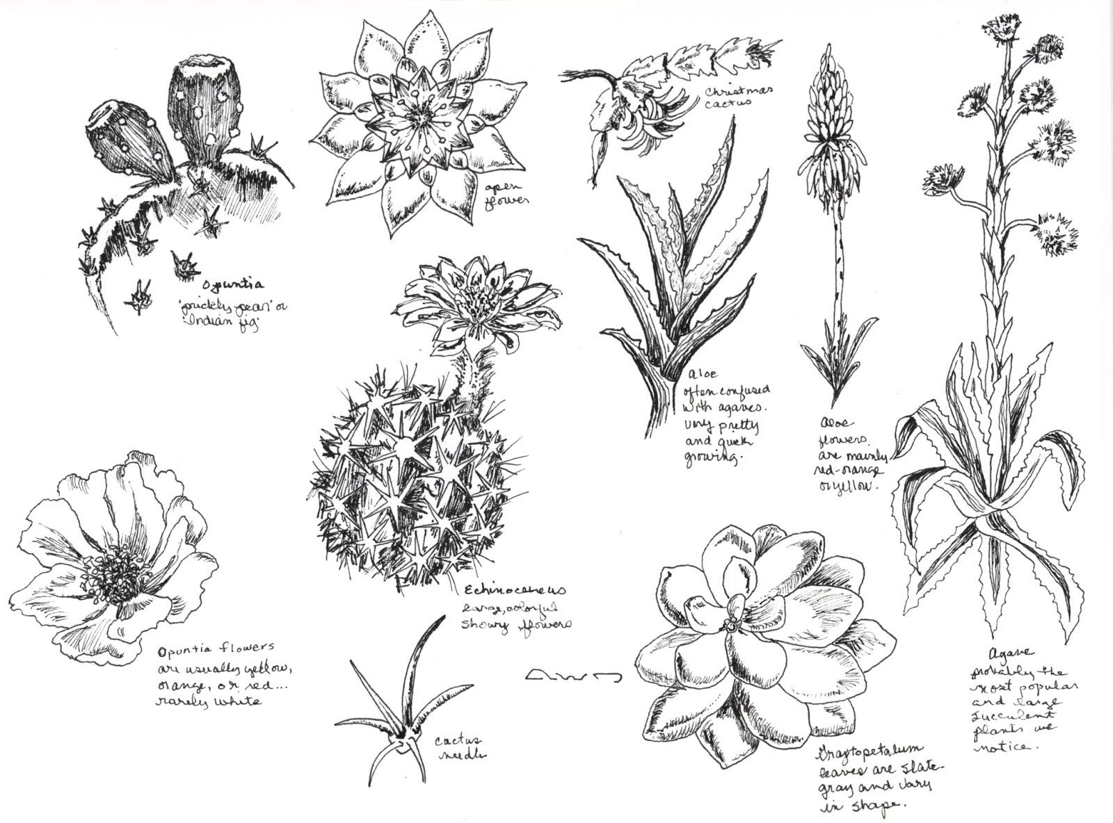 Line Drawing Cactus : Dianne jansing art cactus ink drawings
