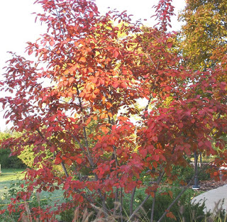 Autumn Brilliance Serviceberry9