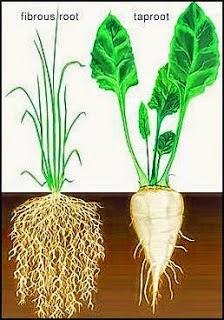 Contoh-Contoh Tumbuhan Berakar Serabut dan Angiospermae