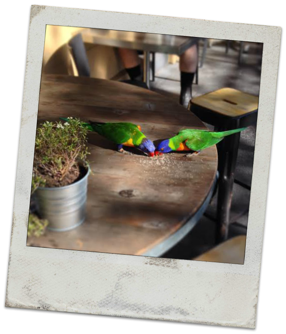 Rosellas eating Sugar