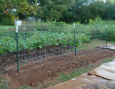 cattle panel as a garden trellis