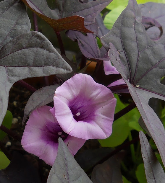 Purple Sweet Potato Vine