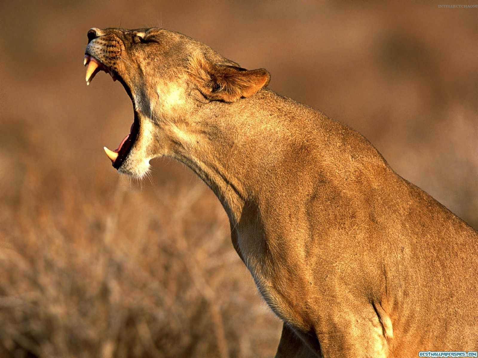 http://3.bp.blogspot.com/-XG_9ufeGyeE/UBJz4BMuRnI/AAAAAAAAAVU/tDgLABtEkAc/s1600/lion-mouth-wallpaper.jpg