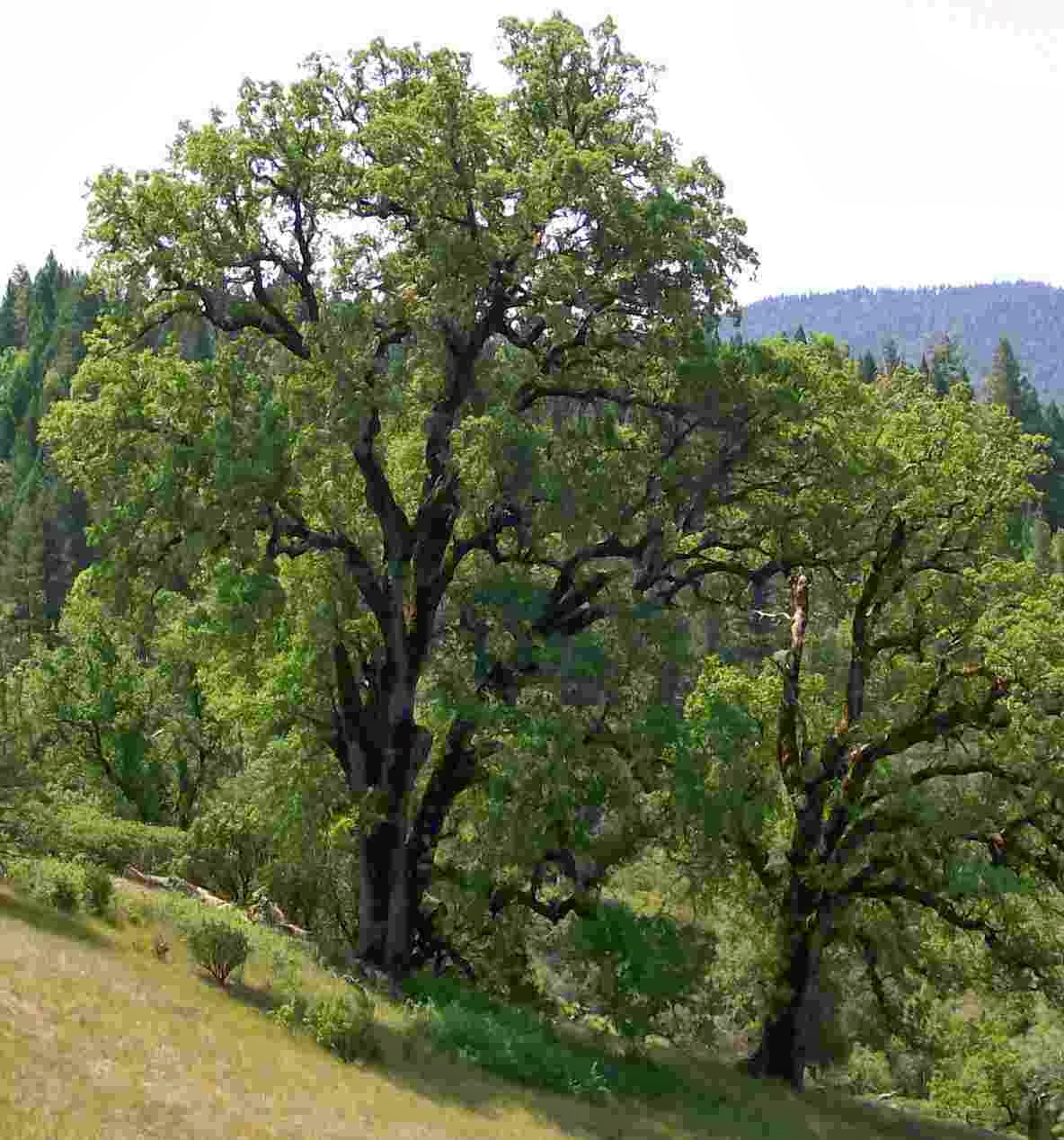 Oak Woodland on the Mendocino National Forest