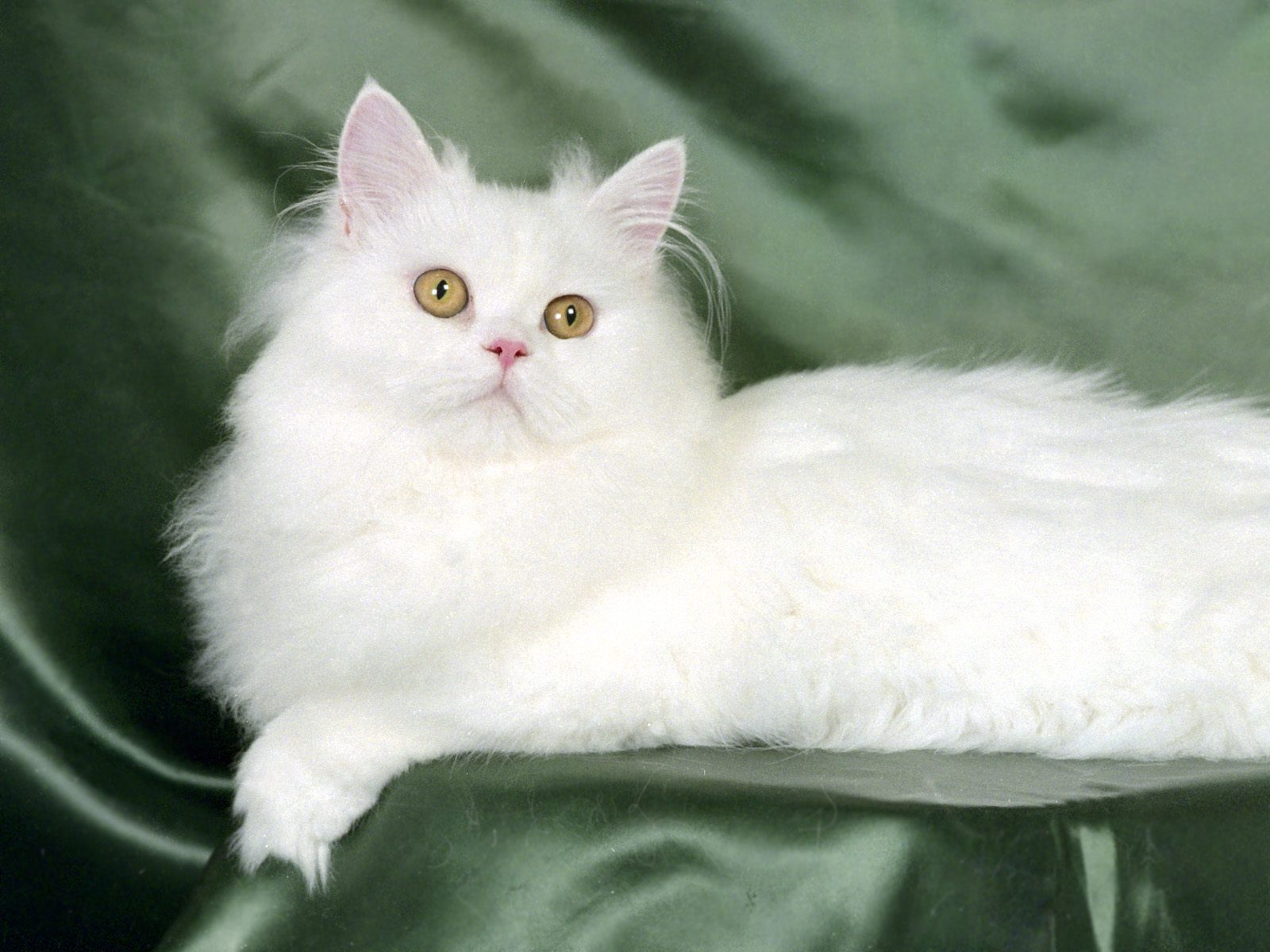 persian cat wallpapers - pets cute and docile