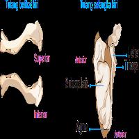 tulang belikat dan tulang selangka