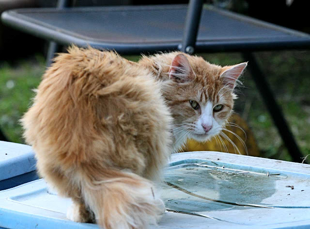 fluffy orange half-tail feral cat