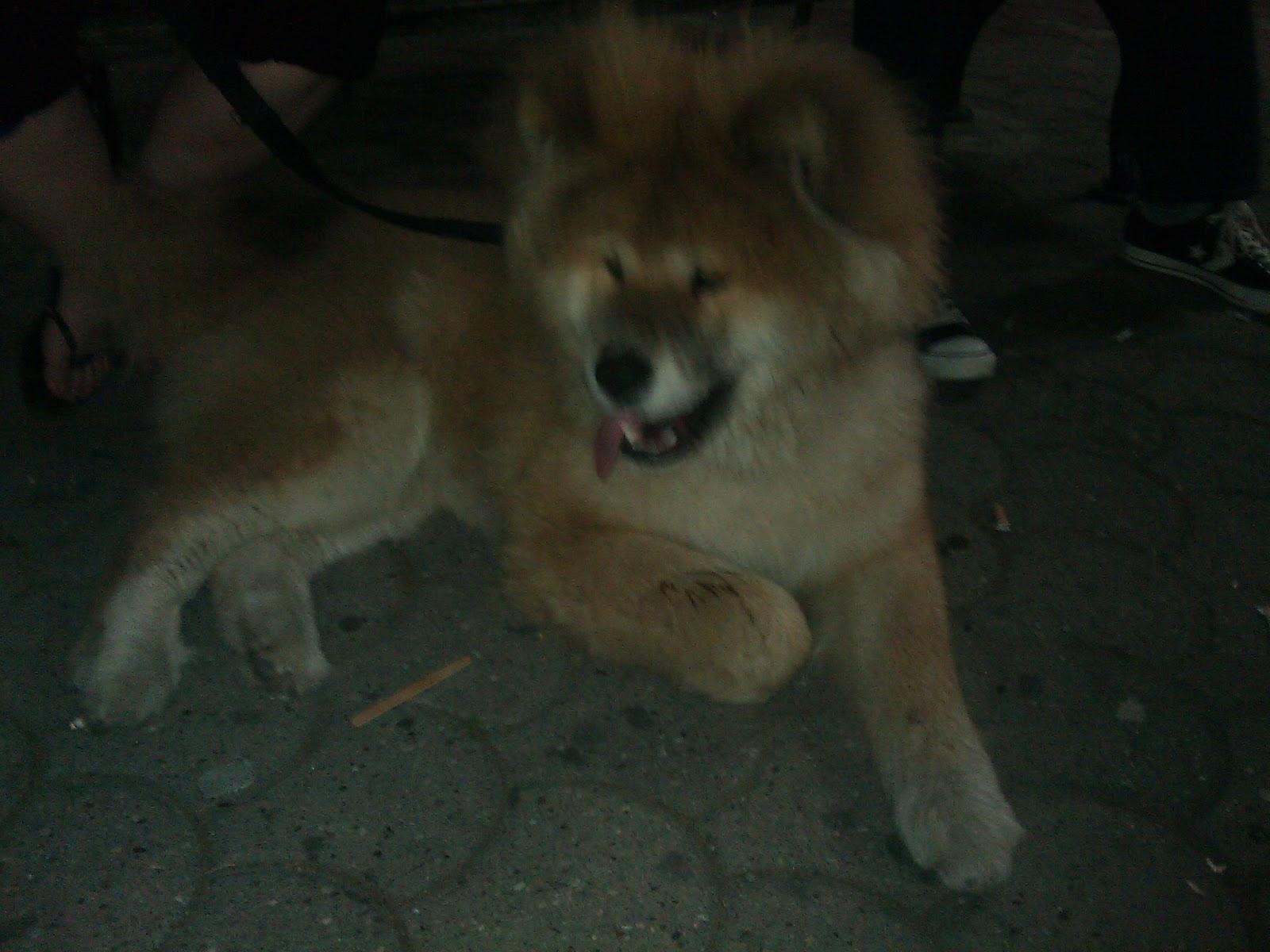 Akita-Inu puppie