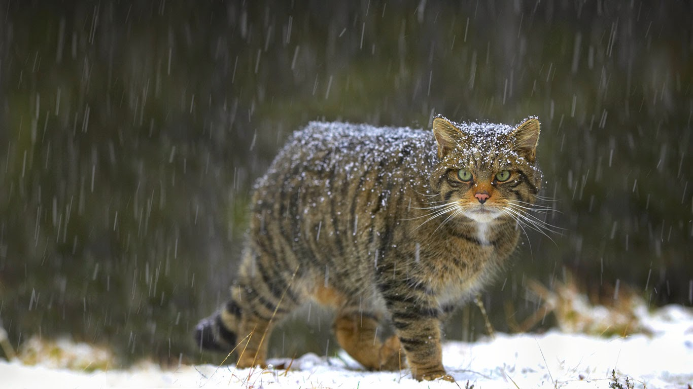 Wildcat in Scotland (© Pete Cairns/Minden Pictures) 197