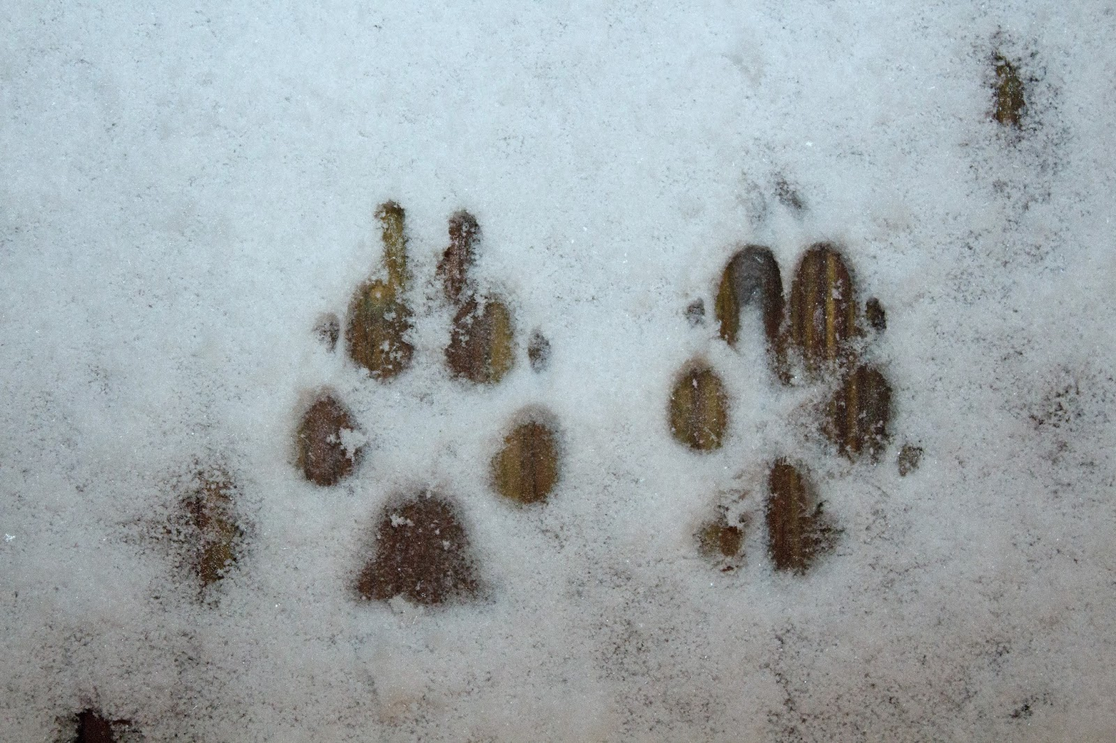 Blue and Bettina's paw prints