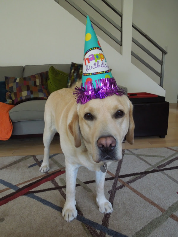 Happy 4th Birthday Labrador Cooper