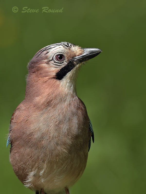jay bird nature wildlife