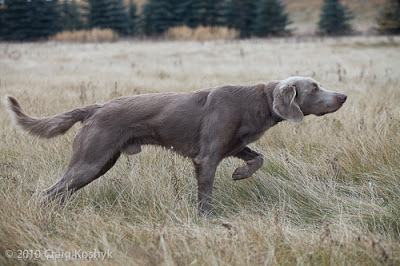 German Wirehaired Pointer History Pointing Dog Blog: Sni...