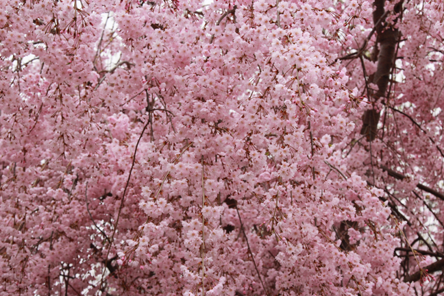 Plumsiena pretty in pink the weeping cherry tree called a shidarezakura has branches that resemble the willow tree with their drooping habit while we dont have a large number mightylinksfo