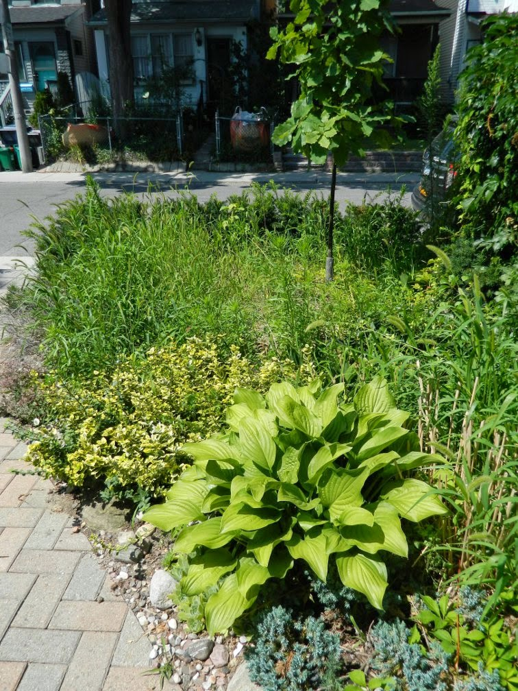 Leslieville garden cleanup front yard before Paul Jung Gardening Services Toronto