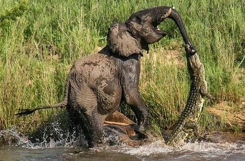 مشهد نادر.. معركة بين تمساح ضخم وفيل صغير