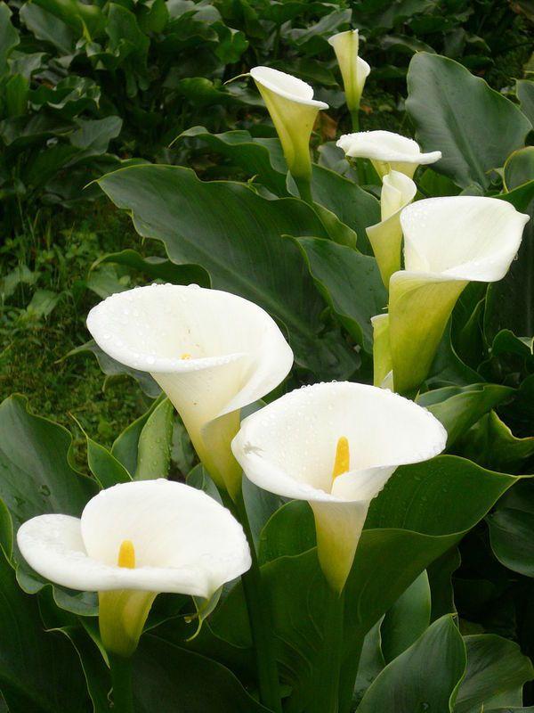 Калла цветок смерти почему приметы
