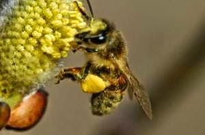 ,Faydaları Nelerdir,arı poleni,şifalı bitkiler,polen,arı sütü,