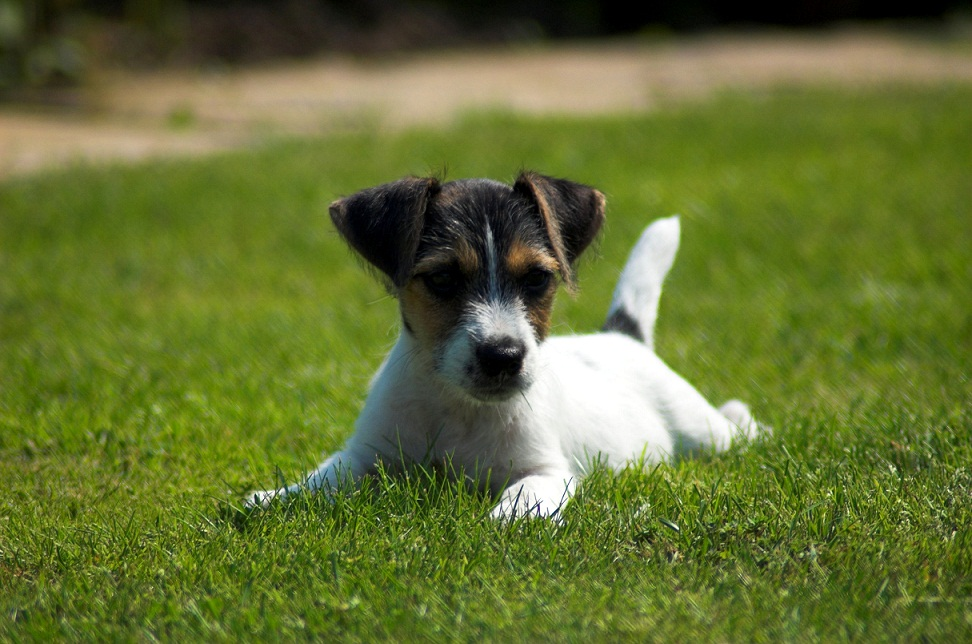 Cute Jack Russell Terrier Puppies wallpapers