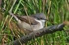 41a. Scrub Warblers