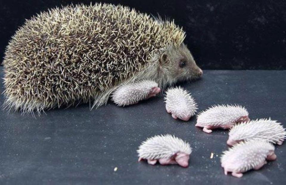 hedge+hog+mommy