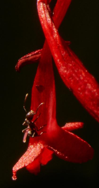 macro,ant,Philippines