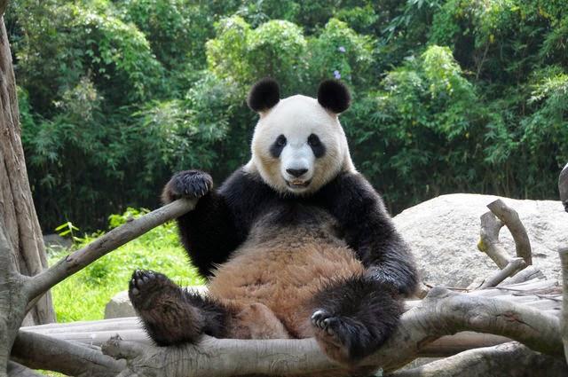 Panda si finge incinta per avere più razioni di cibo