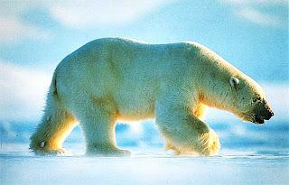 Самец полярного медведя