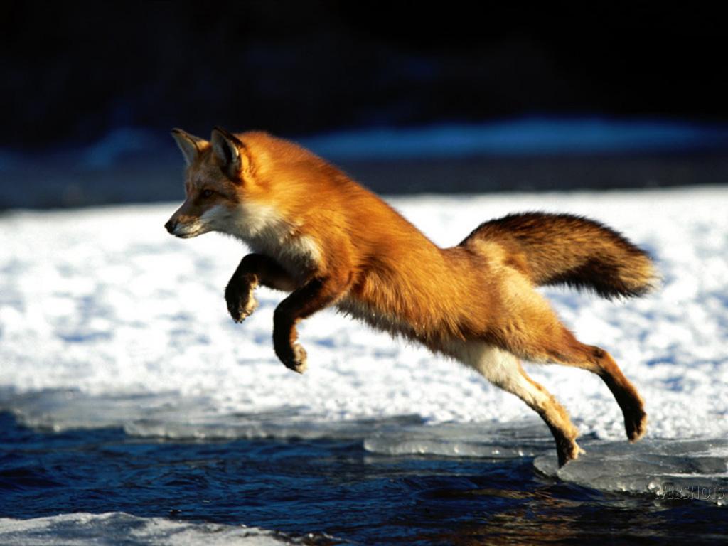 http://3.bp.blogspot.com/-XLWfVQl-irQ/UIZsOM85MbI/AAAAAAAAHWU/g_huoGR3Cpc/s1600/31-fox-wallpaper-animal.jpg