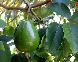 pohon daun dan beberapa manfaat buah alpukat yang baik untuk kesehatan tubuh anda