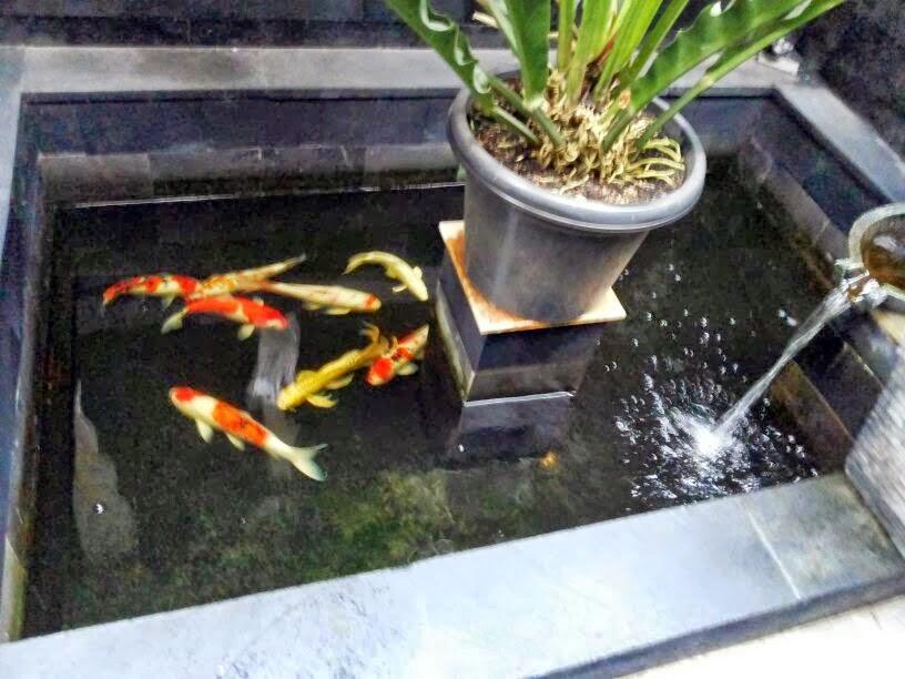 Membuat filter kolam ikan koi dunia akuarium for Koi fish life span
