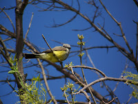 Western Kingbird