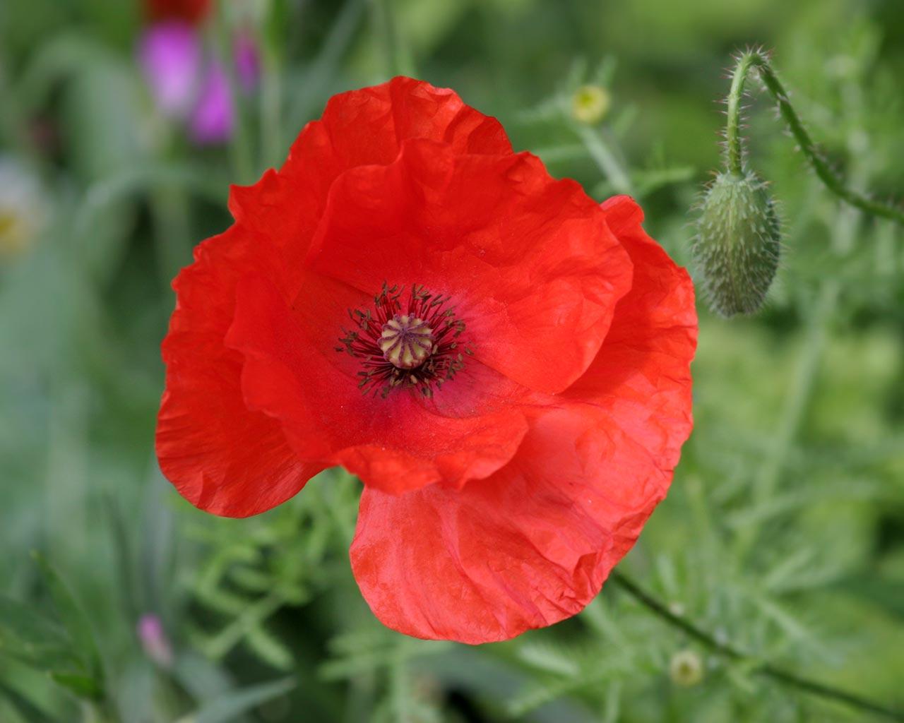 http://3.bp.blogspot.com/-XLx-E4E3GKg/Tu9cADyG1SI/AAAAAAAAAts/eAmAAONeSpo/s1600/red-poppy-flower.jpg