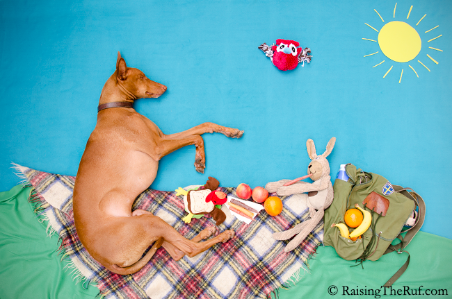 pharaoh hound dog and bunny on a picnic