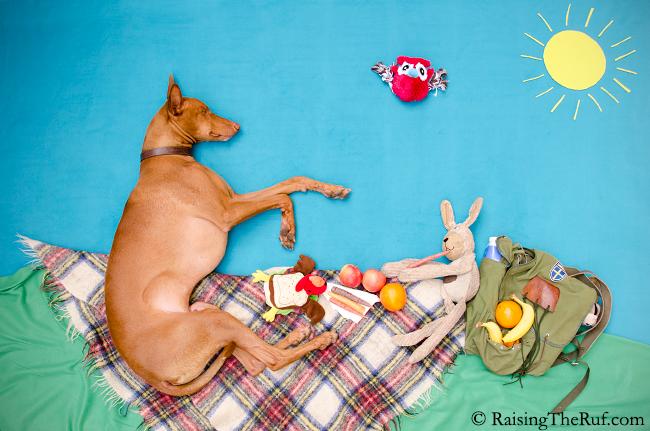 pharaoh hound dog and bunny on a picnic