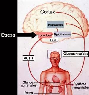 Les glandes surrénales et Thyroïde | Hashimoto au quotidien