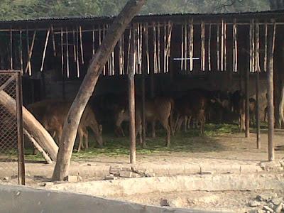 Deers in Delhi Zoo